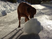 The dog Rhodesian ridgeback and the snowball. In the photo is a dog Rhodesian ridgeback on the plowed road near the town Fall Bavaria. He is playing wit the Royalty Free Stock Images