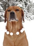Dog Rhodesian ridgeback and snowballs. In the photo is portrait of a dog Rhodesian ridgeback with snowballs around his neck. Photography was made near the town Royalty Free Stock Images