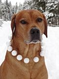 Dog Rhodesian ridgeback and snowballs. In the photo is portrait of a dog Rhodesian ridgeback with snowballs around his neck. Photography was made near the town Royalty Free Stock Photos