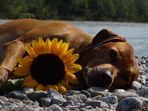 A dog, rhodesian ridgeback with sunflower. In the photo is a dog, rhodesian ridgeback with sunflower. Photo was made in summer near river Isar Vorderriß Stock Image