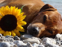 A dog, rhodesian ridgeback with sunflower. In the photo is a dog, rhodesian ridgeback with sunflower. Photo was made in summer near river Isar Vorderriß Stock Photos