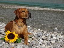 A dog, rhodesian ridgeback with sunflower. In the photo is a dog, rhodesian ridgeback with sunflower. Photo was made in summer near river Isar Vorderriß Stock Images