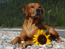 A dog, rhodesian ridgeback with sunflower. In the photo is a dog, rhodesian ridgeback with sunflower. Photo was made in summer near river Isar Vorderriß Royalty Free Stock Photos