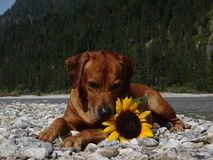A dog, rhodesian ridgeback with sunflower. In the photo is a dog, rhodesian ridgeback with sunflower. Photo was made in summer near river Isar Vorderriß Royalty Free Stock Photography