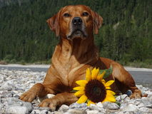A dog, rhodesian ridgeback with sunflower. In the photo is a dog, rhodesian ridgeback with sunflower. Photo was made in summer near river Isar Vorderriß Stock Photo
