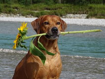 A dog, rhodesian ridgeback with sunflower. In the photo is a portrait of a dog, rhodesian ridgeback with sunflower. Photo was made in summer near river Isar Royalty Free Stock Photo