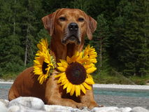 A dog, rhodesian ridgeback with sunflowers. In the photo is a dog, rhodesian ridgeback with sunflowers around the neck. Photo was made in summer near river Isar Royalty Free Stock Photo