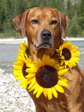 A dog, rhodesian ridgeback with sunflowers. In the photo is a dog, rhodesian ridgeback with sunflowers around the neck. Photo was made in summer near river Isar Royalty Free Stock Images