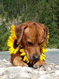 A dog, rhodesian ridgeback with sunflowers. In the photo is a dog, rhodesian ridgeback with sunflowers around the neck. Photo was made in summer near river Isar Stock Photography