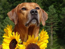 A dog, rhodesian ridgeback with sunflowers. In the photo is a dog, rhodesian ridgeback with sunflowers around the neck. Photo was made in summer near river Isar Stock Photo