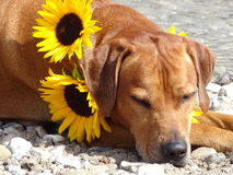 A dog, rhodesian ridgeback with sunflowers. In the photo is a dog, rhodesian ridgeback with sunflowers around the neck. Photo was made in summer near river Isar Stock Image
