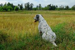 Dog in rice field royalty free stock image