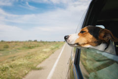 The dog rides in the car royalty free stock images