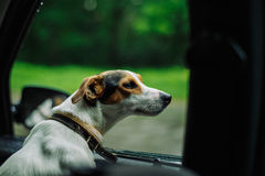 The dog rides in the car royalty free stock image