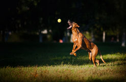 Dog ridgeback playing with ball Stock Image