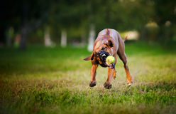 Dog ridgeback playing with ball Stock Photo