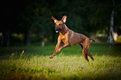 Dog ridgeback running Stock Images