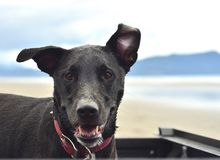 Dog. Riding in the back of the truck at the the beach Royalty Free Stock Image
