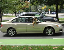 Dog Riding in the car. With head out of the window Royalty Free Stock Images