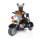 Dog riding on a motorcycle. Dog riding on a black police motorcycle Stock Photo