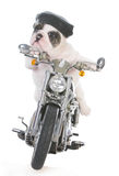 Dog riding a motorcycle. On white background royalty free stock photos