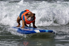 Dog riding waves on surfboard Stock Images