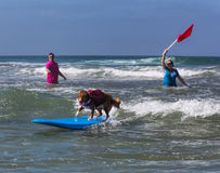 Dog riding waves on surfboard Stock Photography