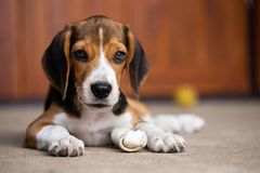 Dog ripping dessert apart Beagle dog purebred. Active, adorable, animal, attractive, autumn, beautiful, canine, companion, creature, cute, day, domestic, face royalty free stock images