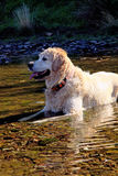 Dog on the river Royalty Free Stock Photography