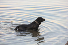 Dog in river Royalty Free Stock Photos