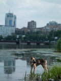 Dog at the river in the city Royalty Free Stock Images