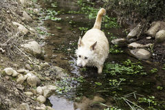 Dog in river royalty free stock images