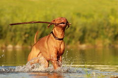 Dog in river. Rhodesian ridgeback enjoys the river Stock Photos
