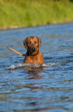 Dog in river. Rhodesian ridgeback enjoys the river Royalty Free Stock Photography