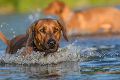 Dog in river. Rhodesian ridgeback enjoys the river Stock Photography