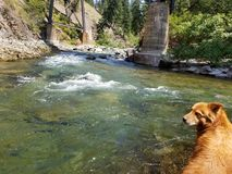 Dog on the river. Dog sitting on a rock on the river in nw mt Stock Images