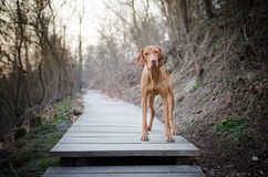 Dog on road. Hungaian vizsla on the wooden path stock photography