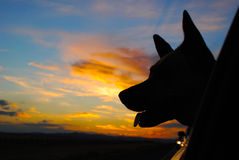 Dog Road Trip. Dog with head out of car window in sunset Royalty Free Stock Photography