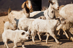 Dog roams in between a herd of goat Royalty Free Stock Photo