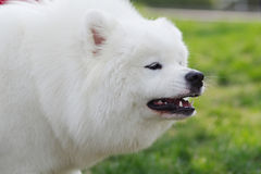 Dog roar stock photos