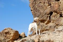 Dog on the rock. Ancient rocks under blue sky. Desert Negev, Israel Stock Images