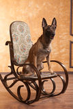 Dog on the rocking chair Royalty Free Stock Photos