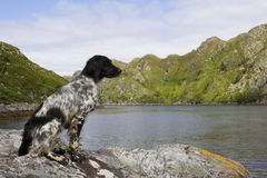 Dog on the Rocks 2. Munsterlander on a rock overlooking a lake Stock Photo