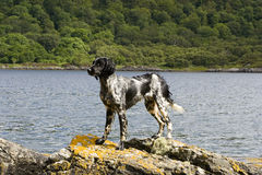 Dog on the Rocks. Munsterlander on a rock oerlooking a lake Royalty Free Stock Images