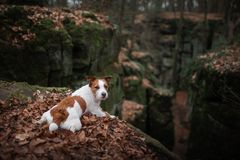 Dog in the rocks autumn in the woods. Jack Russell Terrier in nature. Active pet, healthy lifestyle. Dog in the rocks the autumn in the forest. Jack Russell stock photo