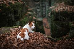 Dog in the rocks autumn in the woods. Jack Russell Terrier in nature. Active pet, healthy lifestyle. Dog in the rocks the autumn in the forest. Jack Russell royalty free stock images