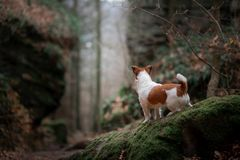 Dog in the rocks autumn in the woods. Jack Russell Terrier in nature. Active pet, healthy lifestyle royalty free stock photo