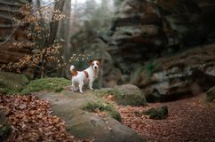 Dog in the rocks autumn in the woods. Jack Russell Terrier in nature. Active pet, healthy lifestyle. Dog in the rocks the autumn in the forest. Jack Russell stock image