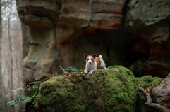 Dog in the rocks autumn in the woods. Jack Russell Terrier in nature. Active pet, healthy lifestyle royalty free stock photos