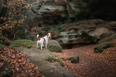 Dog in the rocks autumn in the woods. Jack Russell Terrier in nature. Active pet, healthy lifestyle stock photography